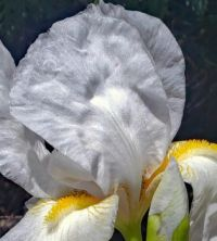 white yellow bearded iris close up