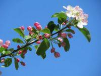 Crab apple tree blossom