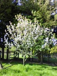 Apple tree red sweet May 19