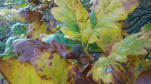 autumn, oak