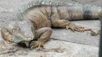 in Parque de los iguanas, Guayaquil, Ecuador