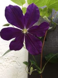 Jackmanii Clematis - blooms and buds