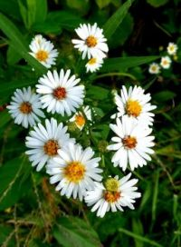 """""""Frost"""" asters"""