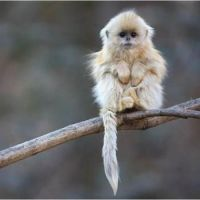 Wild for Wildlife and Nature - Golden Snub-Nosed Monkey