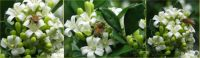 Bees on the Mock Orange flowers.