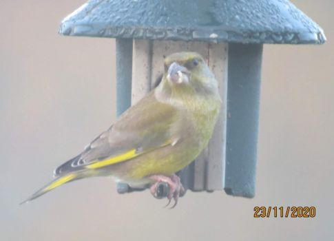 Greenfinch grabbing a spare port.