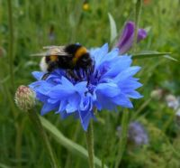 A big bee on a cornflower