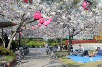 Sakura - time for hanami!