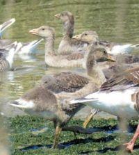 greylag geese teenagers