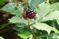 Blackberry with insects on it