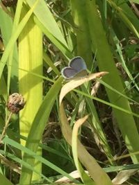 Eastern Tailed-Blue (Cupido comyntas)