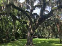Thurman tree Daytona Beach