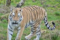 Amur tiger.......Highland Wildlife Park