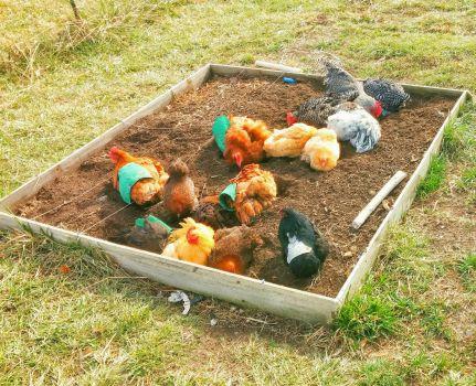 Fifteen Chickens