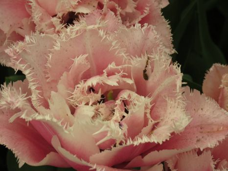 Pink feather tulip