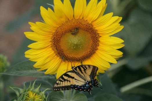 butterfly with sunflower