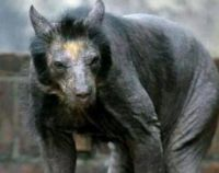 Shaved bears are no laughing matter