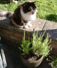 Garden - Tasha Cat on the Wall & Planter With Primula Vialii & Lavender 1