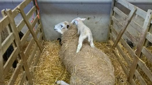 A favouite place for a young lamb.