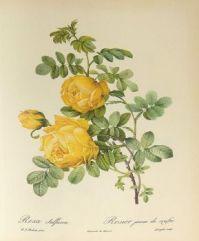 Rosa sulphurea, watercolor