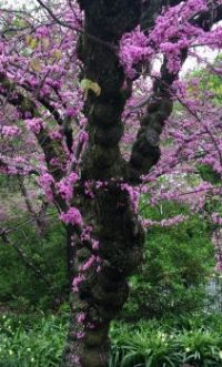 Eastern Redbud, Central Park, NYC
