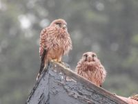 Torenvalkjes (NL), Kestrel (EN), Falco tinnunculus