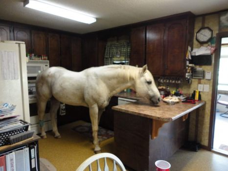 """STALLION   """"FURY""""  IN FOR CARROTS."""