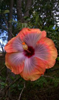 Hibiscus Upcountry Maui