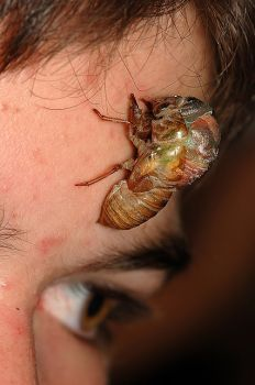 "A CICADA MOLTING ON A BOYS FOREHEAD ""CAN YOU SAY ICK?""..."