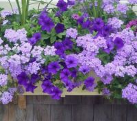Window box Purple Explosion.