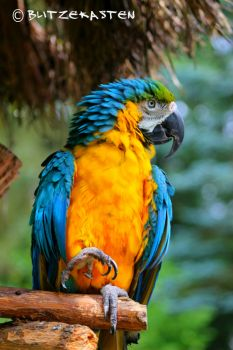 Parrot - Yellow-Blue
