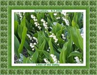 Konvalinky / Lilies of the Valley