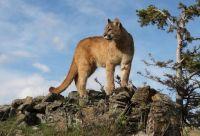 Puma  -  Mountain Lion