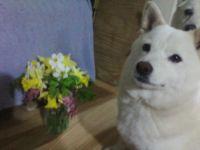 My Shiba Inu Sugar