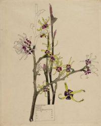 Japanese_Witch_Hazel_-_Walberswick_-_Charles_&_Margaret_Mackintosh_-_1915