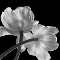 Tulips by Hiroyuki Arakawa