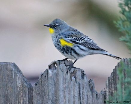 Yellow-rumped Warbler in yard today