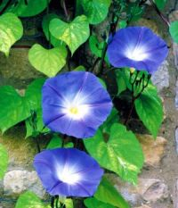 'Heavenly Blue' Morning Glory
