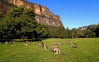 A beautiful mob of Roo's, Blue Mountains, NSW, Aus,