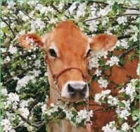 cow in cherry blossoms