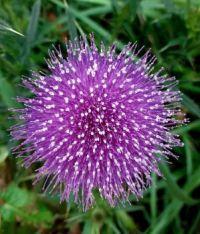 Nearly purple thistle flower