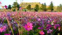 Field of Cosmos in Eastern Free State, South Africa