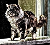 Another Maine Coon Cat
