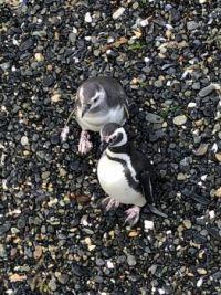Penguins in Argentina