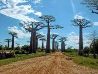 Avenue Baobabs
