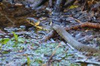Grass snake in the stream