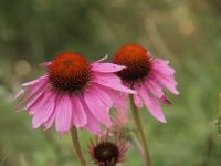 Last of the season echinacea