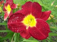 Big Apple daylily after rain
