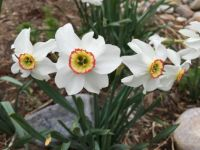 Pheasant Eye Narcissus