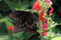 Black Butterfly with Red Flowers